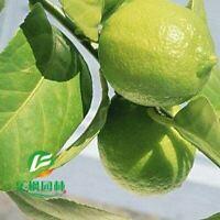 Pure Perfume seedless lemon tree seed 10 seeds / pack