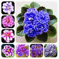Saintpaulia Ionantha African Violet Seed Beautiful Flower Garden Plant 100 Pcs