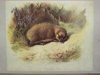 Vintage Natural Historia Estampado ~ Erizo