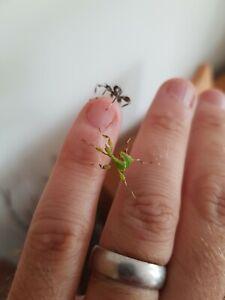 Leaf insects L2 Phyllium philippinicum