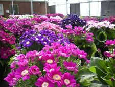 50 Cineraria Seeds Mix Very Colorful Flower  Pericallis Seeds