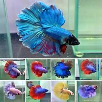 """WHOLESALE HALFMOON"" Live Male Halfmoon Betta Fish Grade A+++(LIMIT TIME ONLY)"