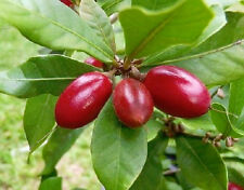 MIRACLE FRUIT- Synsepalum dulcificum rare tropical exotic berry edible 15 SEEDS