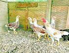 10 Cornish Bantam White Laced Red Fertile Hatching Eggs