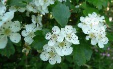 Midland Hawthorn Cratageus laevigata 15 seeds UK native rarely offered