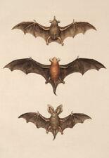 Enmarcado impresión Vintage Estilo Victoriano Bat ilustraciones (antiguo animal Foto Bats)