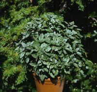 Basil Seeds 50 Basil Patio Key Lime Herb Seeds Ornamental Basil
