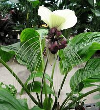 Tacca Nivea White 10 Seeds, Devil's Whiskers, White Bat Flower Garden Plants