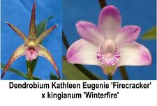 THG Orchid DENDROBIUM Kathleen Eugenie x kingianum 40mm  NEW RELEASE
