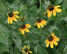 CLASPING CONEFLOWER SEEDS  *****