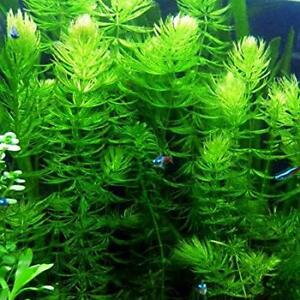 *BUY 2 Get 1 FREE* Hornwort Coontail Live Fish Tank Plants Aquarium Plant ✅