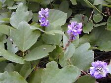100PC Kudzu Pueraria lobata Herb Seeds Vigne Rare Kind Viable Mirifica Medicine