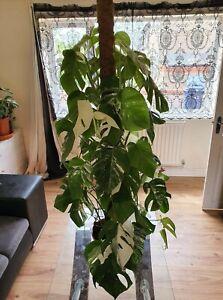 RARE Variegated Monstera Borsigiana Albo 1 Leaf Unrooted Cutting