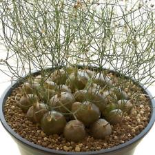 schizobasis intricata 10 SEEDS very rare bulb  unique cadex succulent