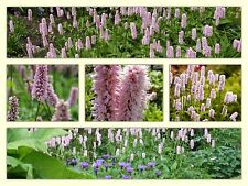 "Ground cover Persicaria Bistorta ""Superba"" A.G.M damp borders & shade 9cm plant"