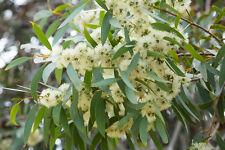 TOP der duftende Zitronen-Eukalyptus hält mit seinem Duft lästige Fliegen fern.