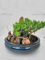 Dwarf Bonsai Juniper Tree Zen Garden With Pool Fishman 6'' inch live plant
