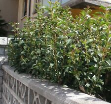 Pianta Rustica e Resistente Sempreverde X Siepi o Vaso. Basta piante delicate