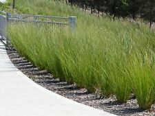 TALL SEDGE GRASS SEEDS ORNAMENTAL GRASS BORDERS GARDEN CAREX APPRESSA 50 SEEDS