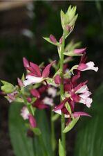 Organic Phaius tankervilleae Orchid  GorgeousNun orchid Plant 1 Plant