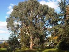 Eucalyptus dalrympleana MOUNTAIN WHITE GUM Tree Seeds!