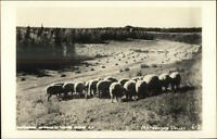 Matanuska Valley AK Sheep Real Photo Postcard