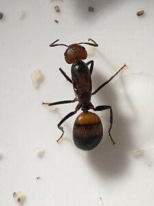 Camponotus nicobarensis Königin mit Eiern aus 2021SF Ameise ameisekolonie