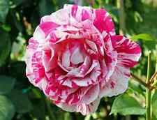 20 Pink Dragon Rose Seeds Garden Gift Flower Rare Premium Striped Garden
