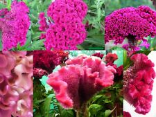 New listing Giant Pink Cotton Candy Cocks Comb Cockscomb / 4 - 5 Ft Stalks With Huge Head