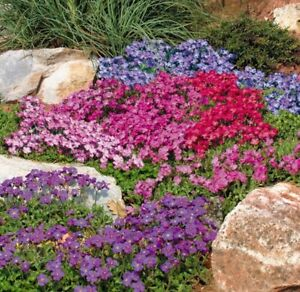 Seeds Lilacbush Rock Cress Hybrid Mix Perennial Hanging Climbing Outdoor Ukraine