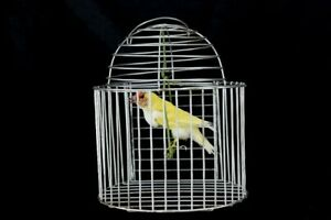 Beauty Domestic Finch in Cage on cradle New Premium Taxidermy Bird
