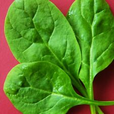 SPINACH - MEDANIA - 400 Seeds [..reliable & versatile award winning variety]