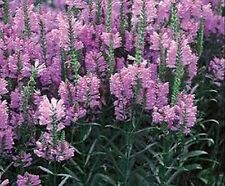 Obedient Plant- (Physostegia Virginiana)  Pink- 100 seeds