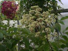Euodia hupehensis - Bienenweide - Tausenblütenstrauch - Tausendblütenbaum - Honi