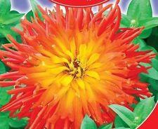 """Zinnia elegans """"God of fire"""" Flower Seeds from Ukraine. 45 SEEDS"""