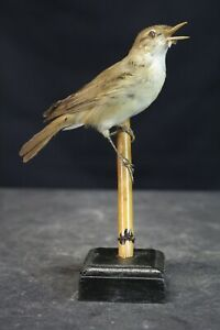 Taxidermy-hunting-chasse-präparat- Marsh Warbler with permit