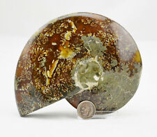 "Fossil Whole Ammonite Nice Suture Pattern 134mm Dinosaur Xlg 5.2"" 110myo e3972xx"