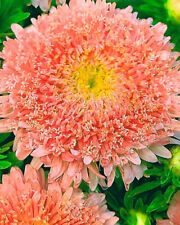 Aster Luxury Peach Bouquet Seeds 0,5g annual flower ��тра пер�иковый букет