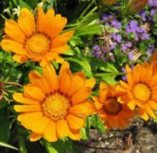 GAZOO ORANGE GAZANIA rigens hardy daisy-like plants -large 4cell seedling punnet