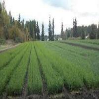 """12"""" White spruce Seedlings (10)"""