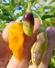 25+ Pure St Augustine Strain Heirloom Datil Pepper Seeds With A Bonus