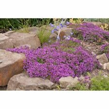 0.1g (appr. 700) creeping thyme seeds THYMUS SERPYLLUM the best low ground cover