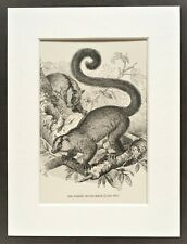 Mouse Lemur Primate Print - 1893 Mounted Antique Black & White Engraving