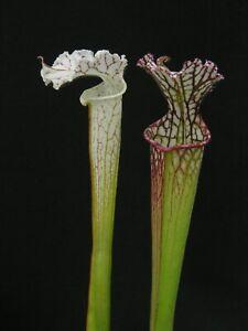 Carnivorous Sarracenia leucophylla var leucophylla - Gas Station Site, Perdido