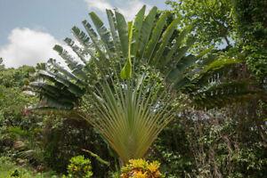 GUT exotische Palmen Rarität Saatgut seltene Balkon Pflanze BAUM DER REISENDEN
