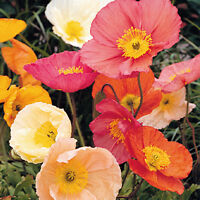 Iceland Poppy Flower Seeds. Papaver nudicaule. Pastel Shades Mix. Poppies #110