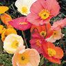 Poppy Flower Seeds. Papaver nudicaule. Kelmscott Giant 250 Seed Mix. Poppies #96