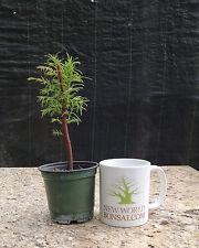 Bonsai Tree, Dawn Redwood, Metasequoia glyptostroboides, Live Starter Tree
