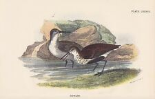 Alpenstrandläufer Calidris alpina LITHOGRAPHIE 1896 DUNLIN Ornithologie