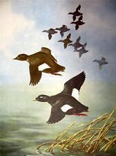 Angus H. Shortt   Original 1948 print in Fine condition White Winged Scoter Duck